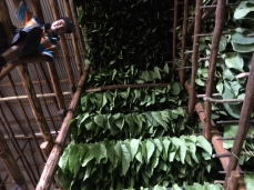 The Curing Barns - where tobacco goes from green to brown.