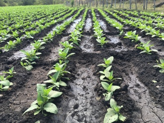 Tobacco in the field. Note the spacing of the rows is wide enough to enable each plant to be tended to by hand daily.