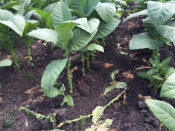 "Tobacco plants are ""primed"" several times while growing, meaning that lower leaves are removed so that the upper leaves get enough nutrients from the soil, sunlight and water."