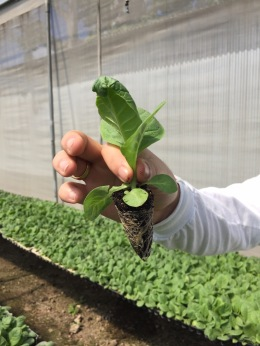 Tobacco seeds are nurtured in a green house until the plant and root structure become viable enough to be transplanted into the fields.
