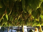 After harvesting, tobacco is hung in Curing Barns where the leaves are transformed from green to brown.