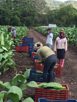 Fully grown tobacco leaves are harvested by hand before being moved to the curing barns.